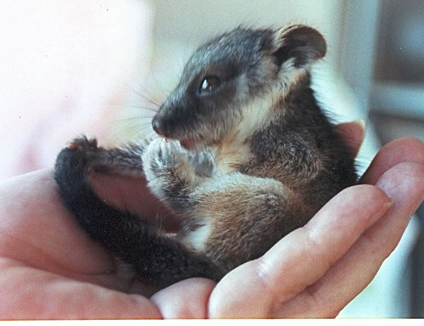 My first Ringtail Possum, Bracken. He was a delcate affectionate little fellow, weighing just 55grams March 2001