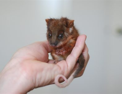 Ringtail Possum Joey