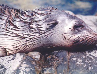 Fur Seal sunbacking on Marengo Rocks
