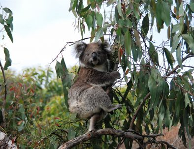 Koala near house