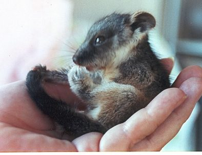 My first Ringtail Possum, Bracken. He was a delcate affectionate little fellow, weighing just 55grams March 2001